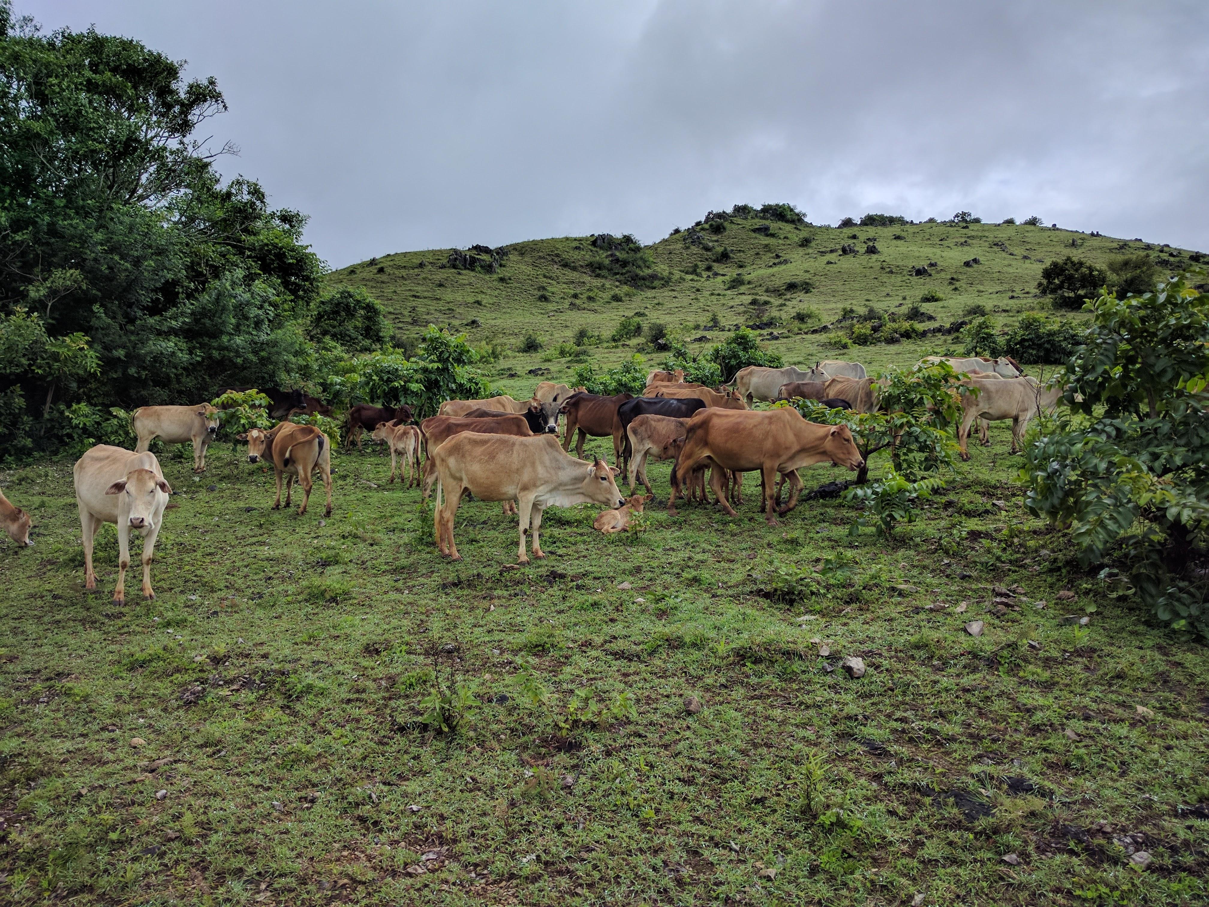 Vaches trek